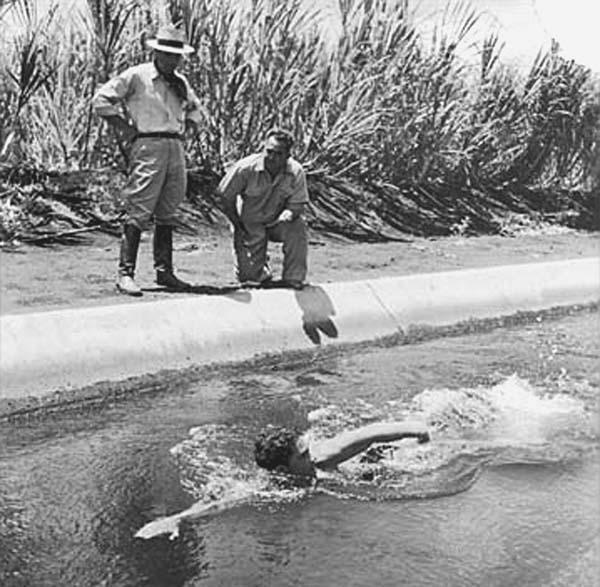 Coach Soichi Sakamoto studies a swimmer's form in the sugar irrigation ditch in Pu'unënë, where Sakamoto turned ordinary plantation kids into championship swimmers. (Photos courtesy Hawaii Swim Club)