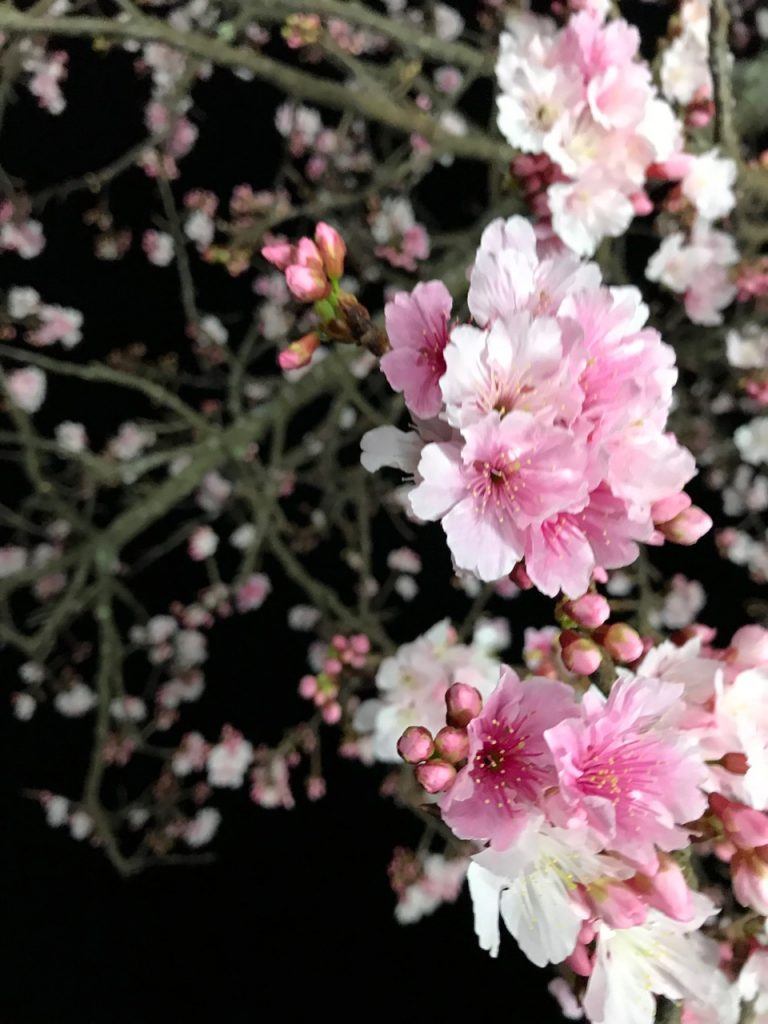 Beautiful light pink flowers blossoming on a tree