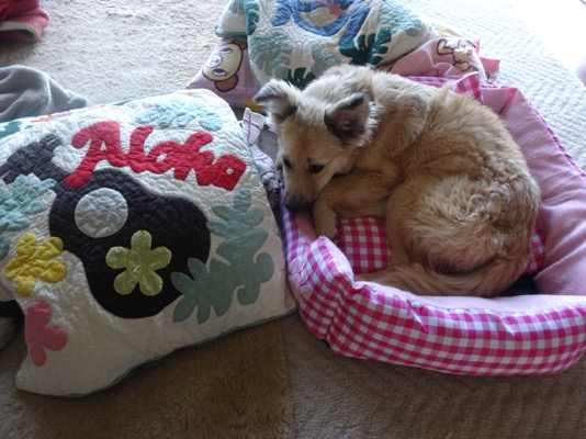 Hana initially fit comfortably in the doggie bed we bought for her, which she outgrew in no time.