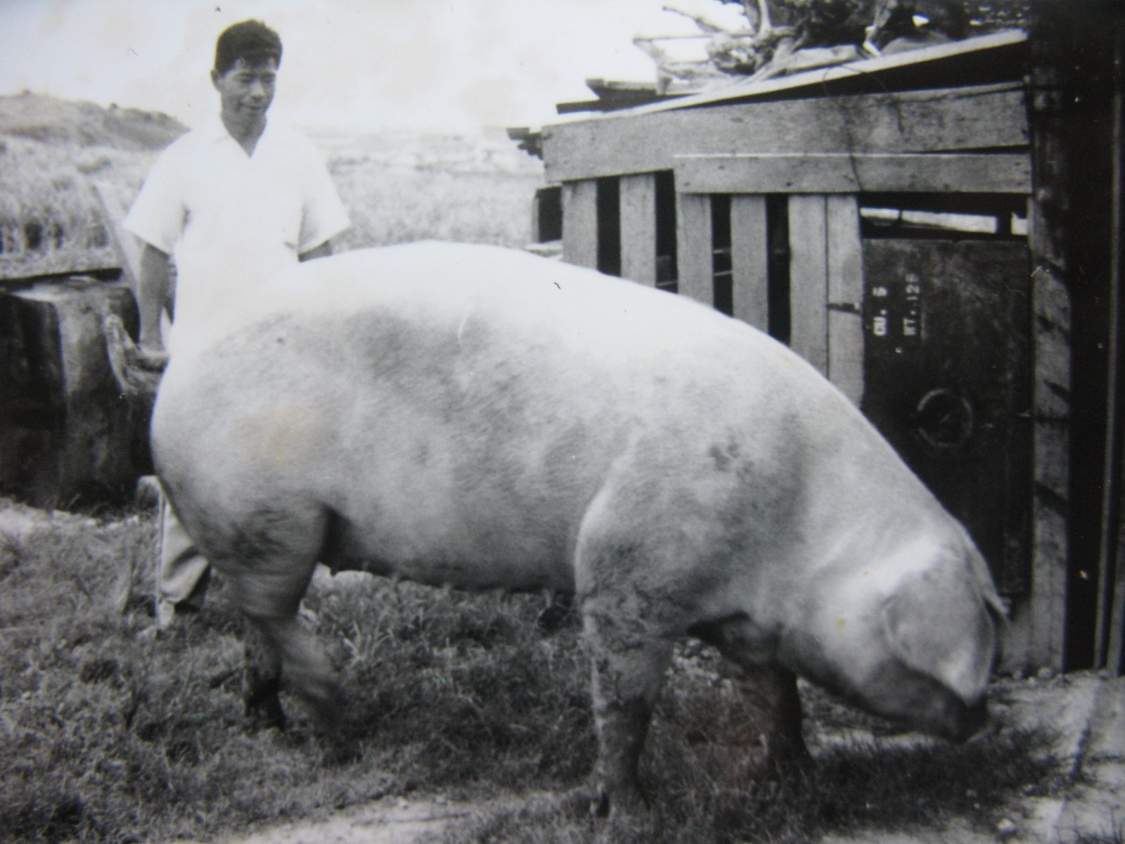 This 1948 photo shows Seiko Komesu with his Chester White. Komesu, now a healthy 94, was among the 15 Ginowan farmers who entered a lottery to receive a pig. Inset: Seiko Komesu recently at age 94. (Photo courtesy Dan Nakasone)