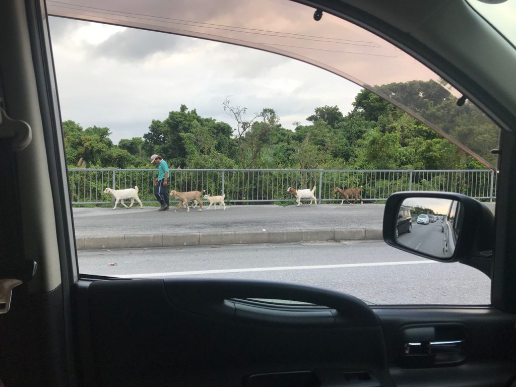 Photo of a man walking with goats street side