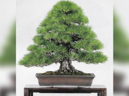 Photo of a bonsai plant promoting Pacific Bonsai Club Plant Fair