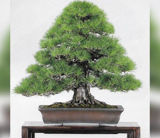Photo of a bonsai plant promoting Pacific Bonsai Club Plant Fair