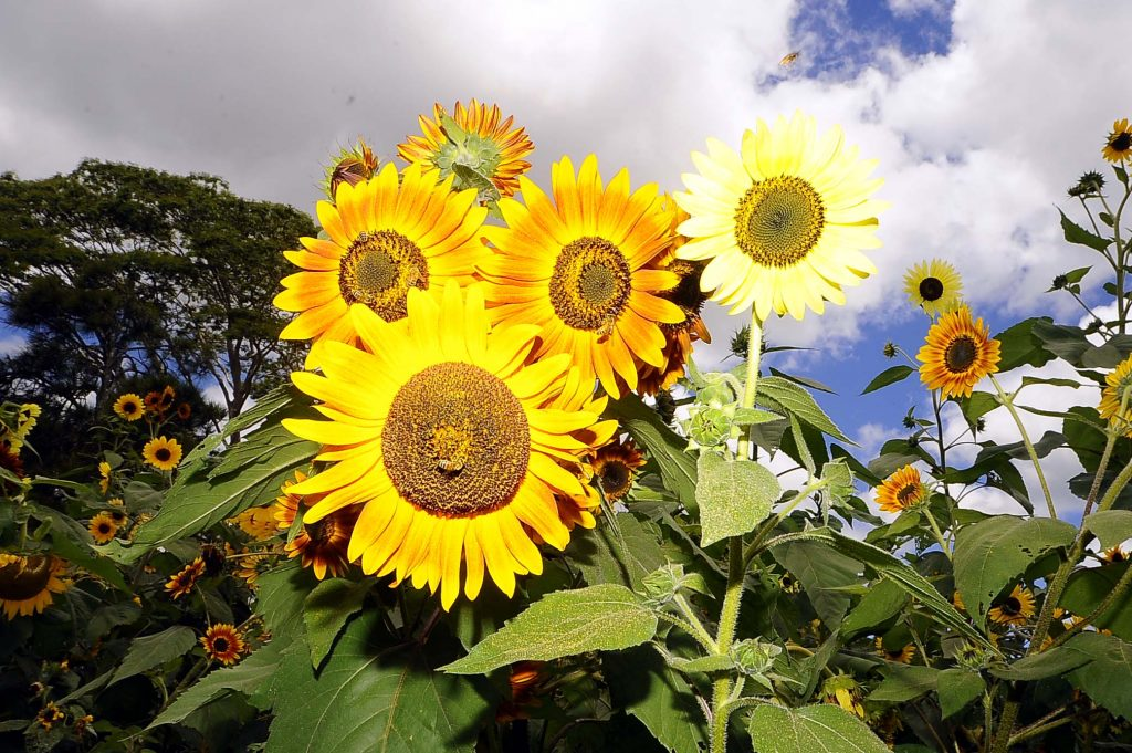 Guests were also invited to harvest sunflowers.