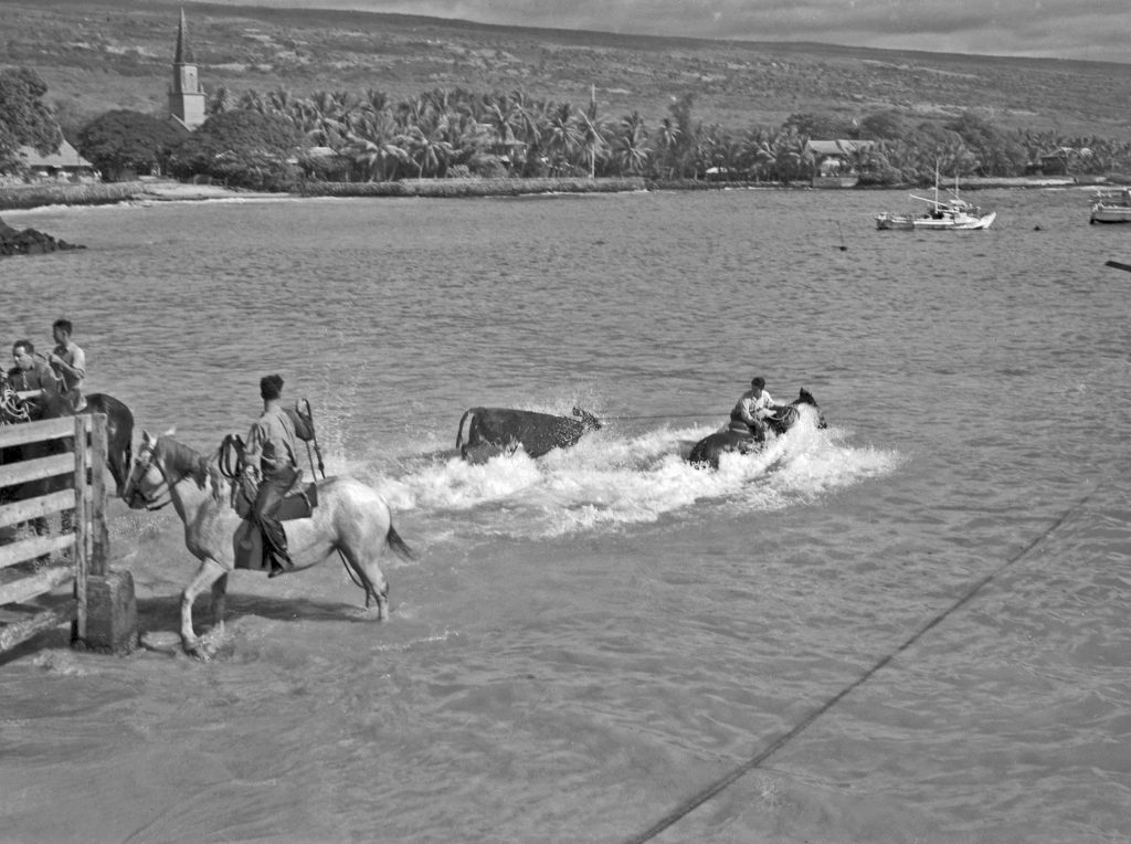 """A cowboy doing hö'au pipi (swimming cattle) work. On horseback, he ropes a cow in the holding pen and """"swims"""" out while riding his horse with the cow in tow to the long boat just offshore. (Photo from the Christensen Collection/NHERC)"""