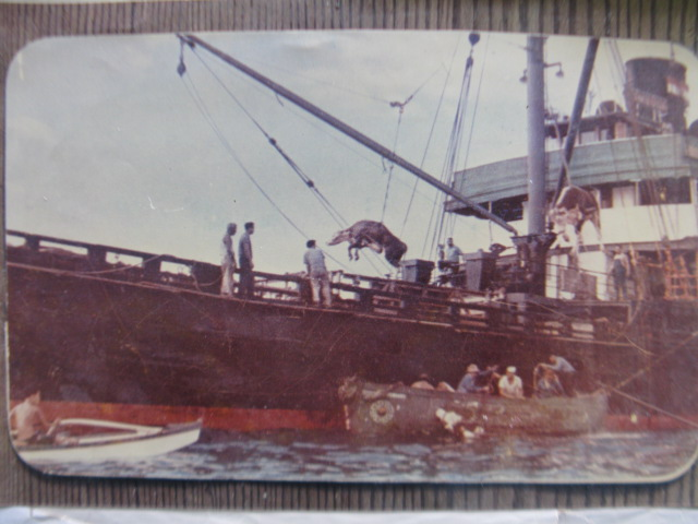 The cow being lifted to a steamship offshore. (Courtesy Charlie Onaka)