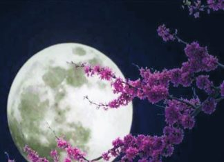 Photo of cherry blossom tree with a full moon background for event, Harvest Moon Viewing on 10/13/19