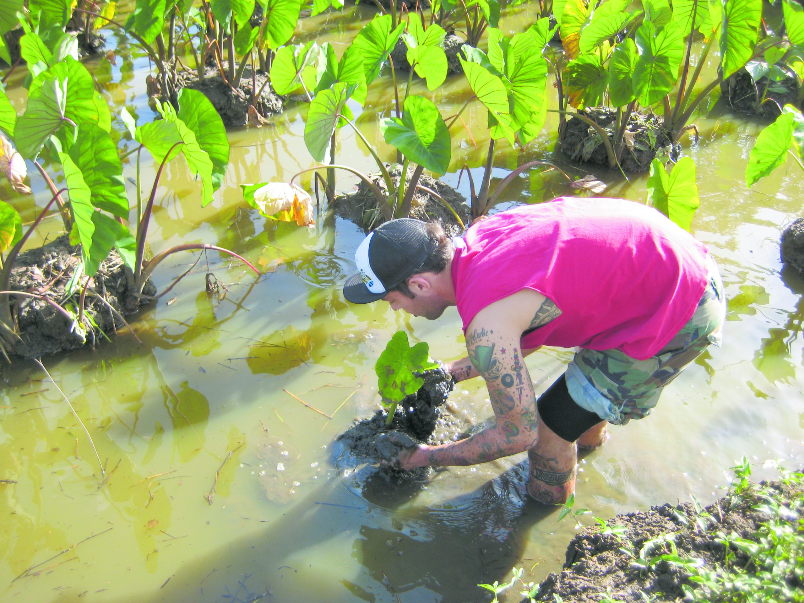 Young man in knee-deep water working hard in the loi, taro patch.