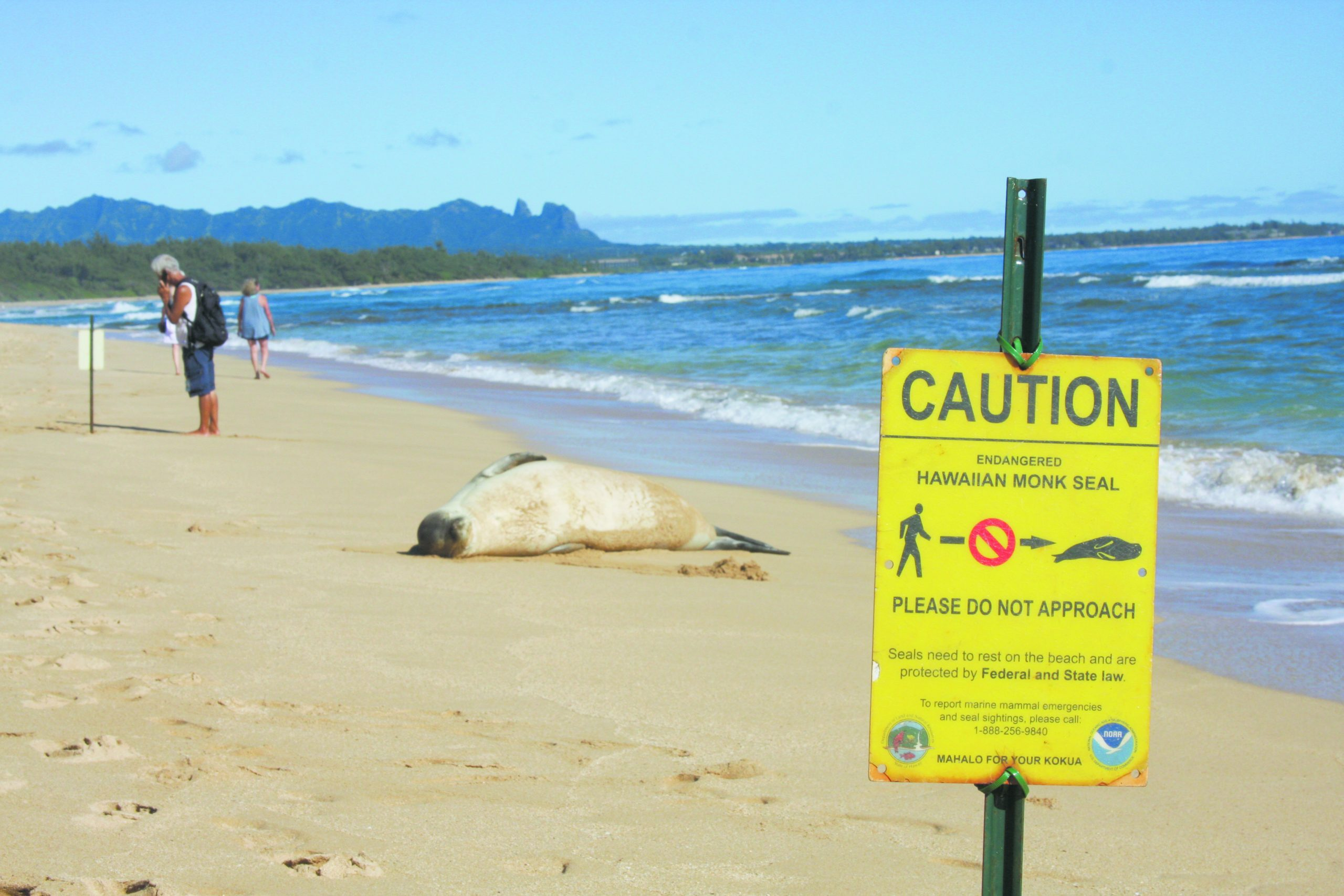 Miyashiro calls NOAA scientists to report the sunbathing seal and to give them its identification number.