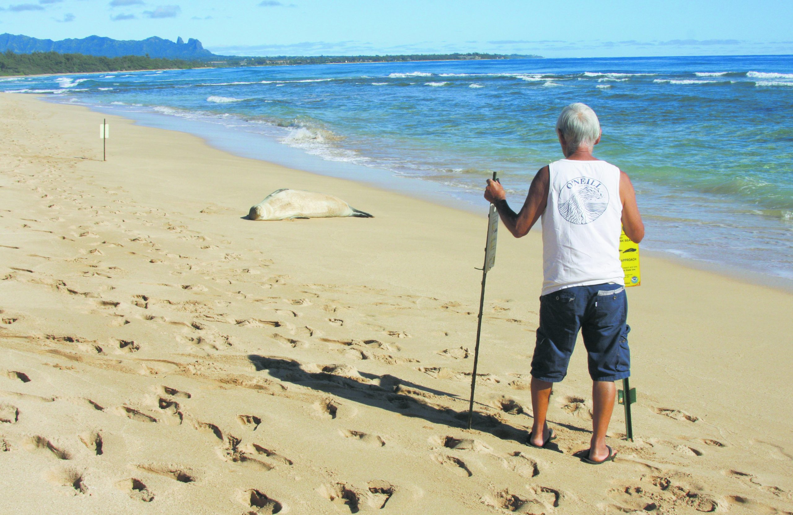 Lloyd Miyashiro sets up signs on the beach, warning the public to stay at least 50 feet away from the sunning Hawaiian monk seal. (Hawaiian monk seal photos by Ron Morinishi)